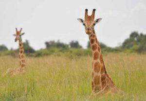 Zwei bisher als Rothschild bezeichnete Tiere, die der Nubischen Giraffe zugeordnet werden sollten, da sie mit ihr genetisch identisch sind. Bild: Julian Fennessy