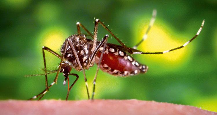 Gelbfiebermücke »Aedes aegypti«. Diese Stechmückenart gilt als Überträger exotischer Krankheitserreger; Foto von CDC, F.H. Collins