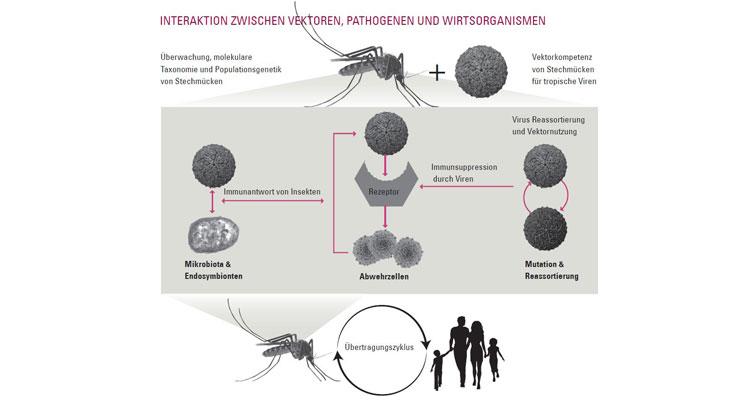 Ein Fokus unserer Forschungen liegt auf der Interaktion zwischen Vektoren, Pathogenen und Wirtsorganismen. Hierfür untersuchen wir beispielsweise das Vorkommen, die Art und die Populationsstruktur relevanter Vektoren. In weiteren Untersuchungen erforschen wir die Vektorkompetenz, also die Fähigkeit dieser Populationen, verschiedene Infektionserreger und Parasiten zu übertragen, sowie die Übertragungszyklen (Infektionswege) von Erregern. Diese Forschungsansätze sollen klären, welche Vektoren in Europa an der Übertragung von Infektionserregern beteiligt sind oder sein können, und welche Wirtsorganismen involviert sind. Grafik: AG Klimpel
